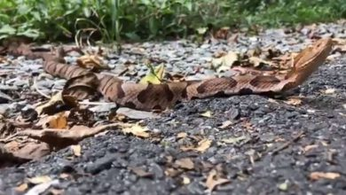 Photo of Video shows pair of venomous snakes mating on Lancaster County bike trail